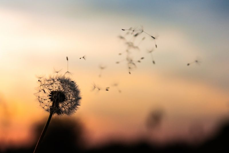An image of a dandelion blowing in the wind, a sign of freedom.