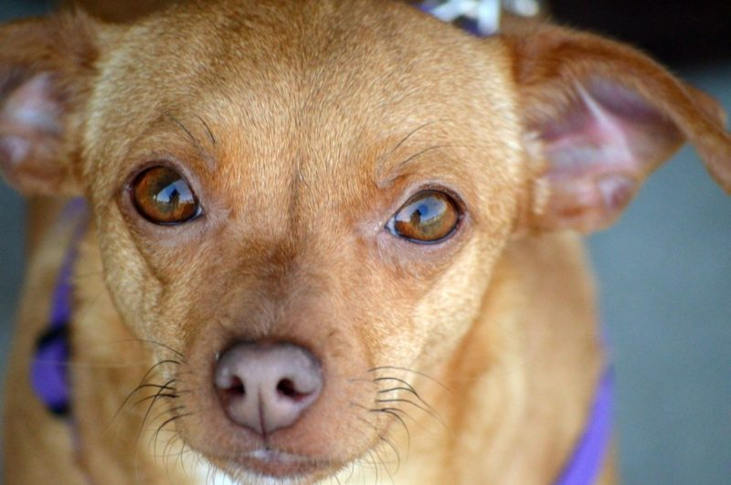 An image of a small caramel colored dog with brown eyes.