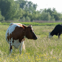 The tale of a cow, and the tail…