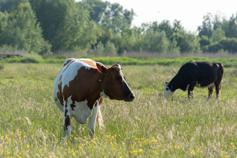 Two cows in the meadow, and one cow is watching us.