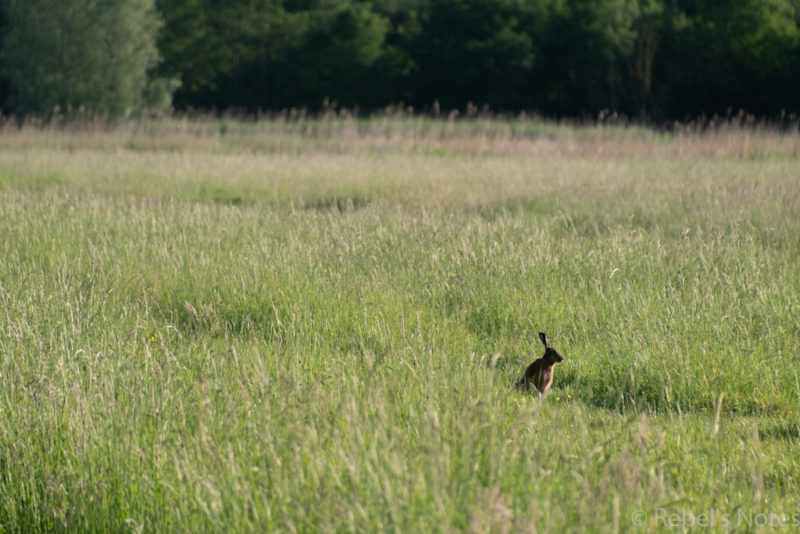 A hare in the grass.