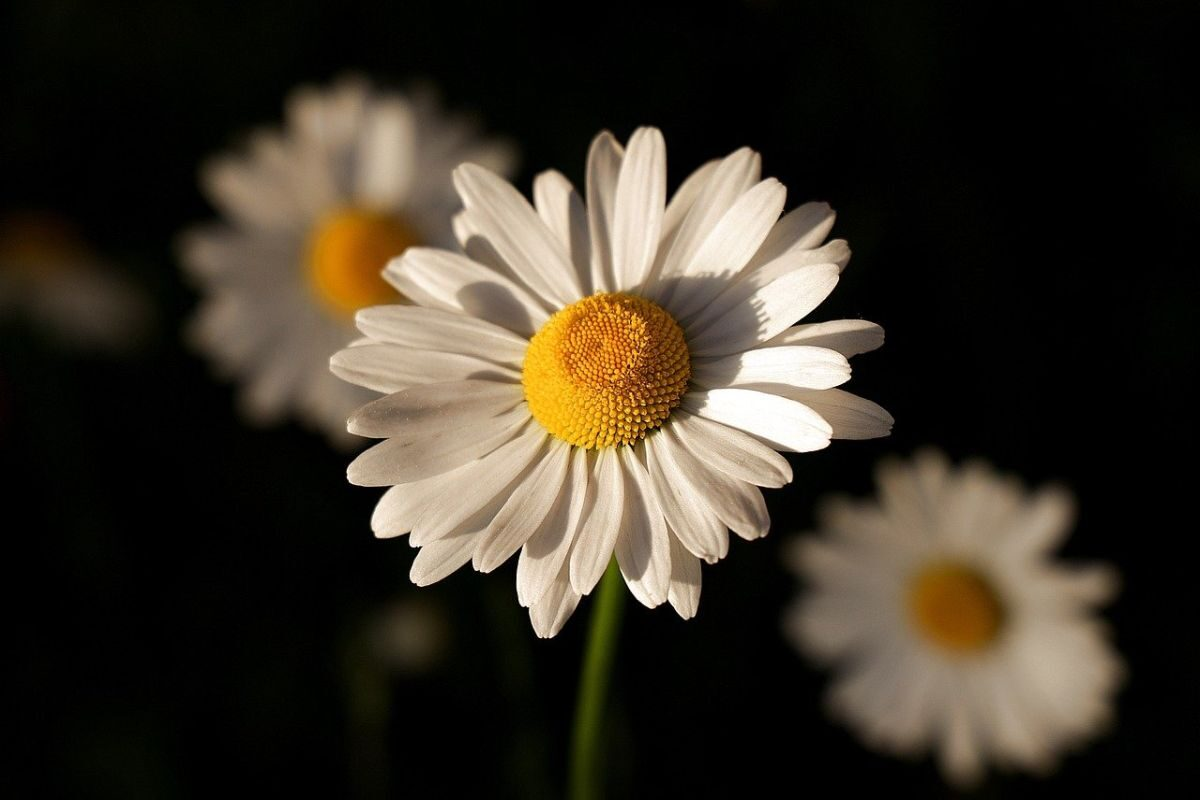 An image of a white daisy with a yellow heart to go with my post 'April showers bring May flowers'.