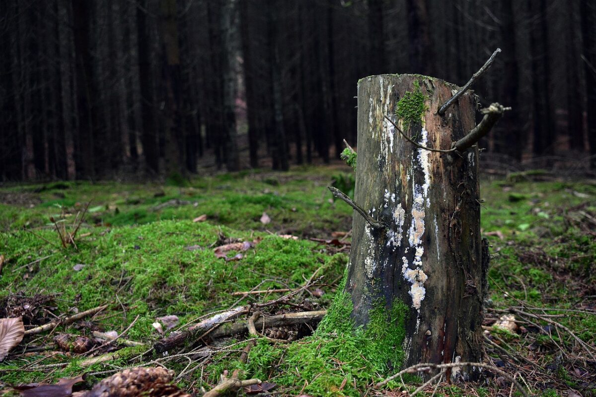 Image of a lonely tree stump in the woods.