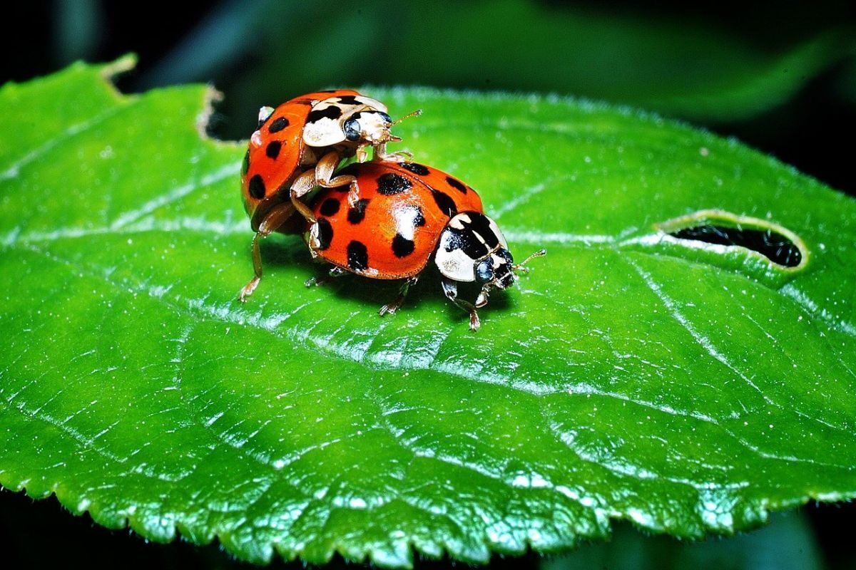 An image of two ladybugs, one on the back of the other, to go with my post about an eluding libido.